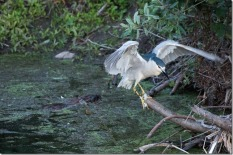 Black-crowned night heron with a beaver swimming behind it